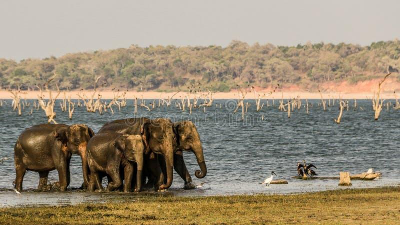 Wilde Olifantentroep bij polonnaruwa, Sri Lanka royalty-vrije stock fotografie
