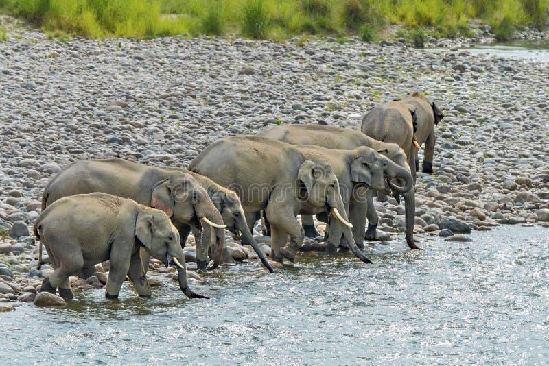 Wilde olifantsfamilie in de rivier bij bos royalty-vrije stock fotografie