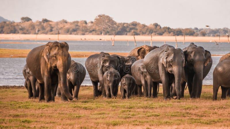 Wilde olifantskudde royalty-vrije stock afbeeldingen