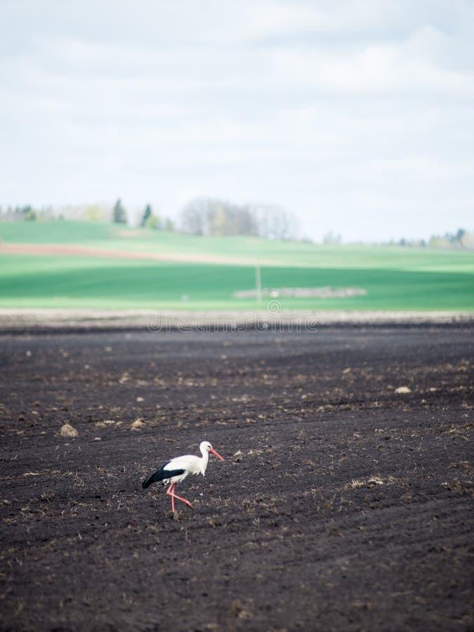 Download Wilde ooievaar in de weide stock foto. Afbeelding bestaande uit landbouwbedrijf - 54077506