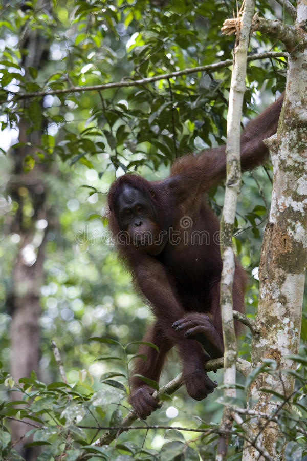 Wilde orangoetan, Borneo royalty-vrije stock fotografie