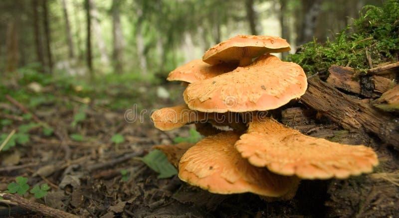Wilde oranje paddestoelen royalty-vrije stock fotografie