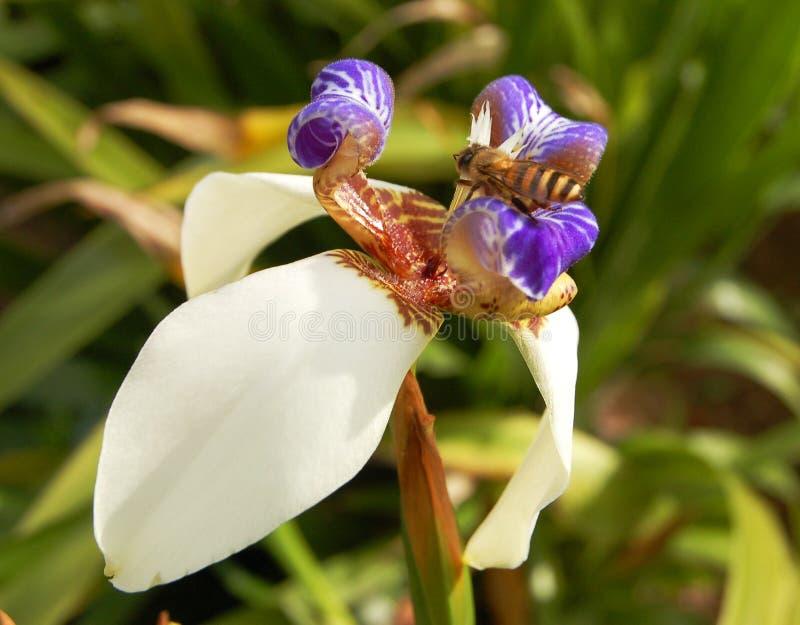 Wilde orchidee met honingbij stock foto's