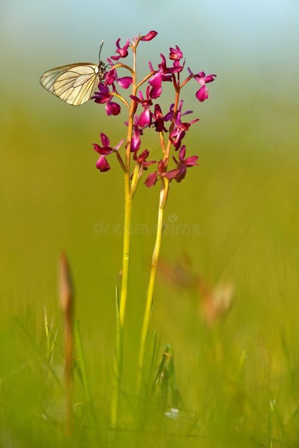 Wilde Orchidee von Bulgarien Laxiflora Orchis oder Anacamptis, rote violette Blume mit weißem Schmetterling Wiese im Frühjahr glä stockfotografie
