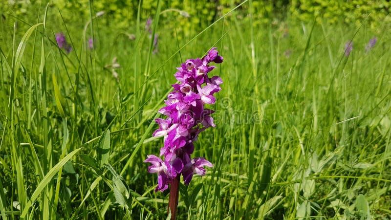 Wilde Orchideeblume stockfotografie