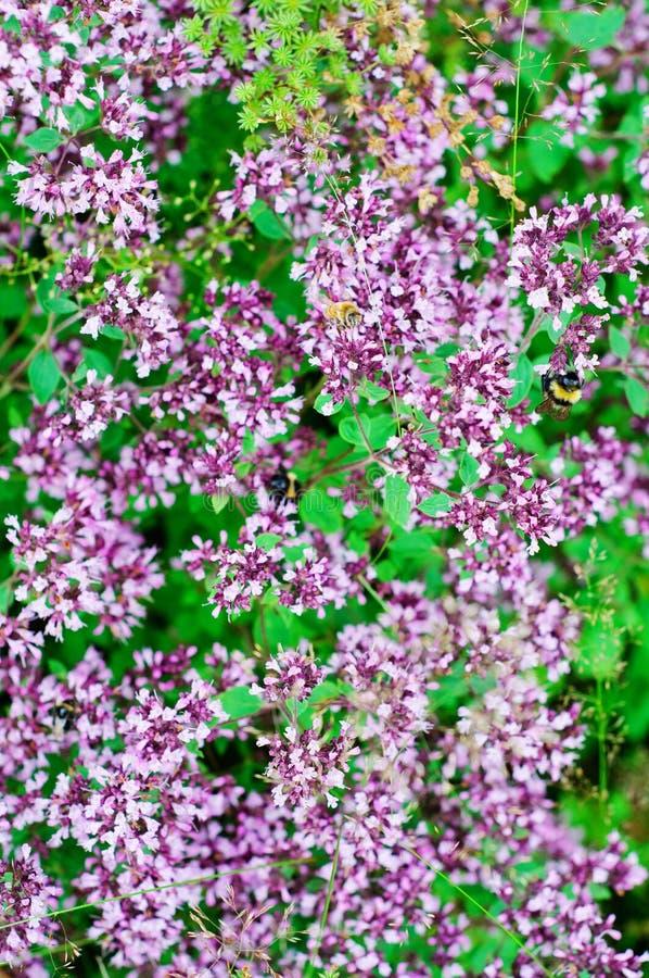 Wilde orego (Wilde marjolein vulgare) stock foto