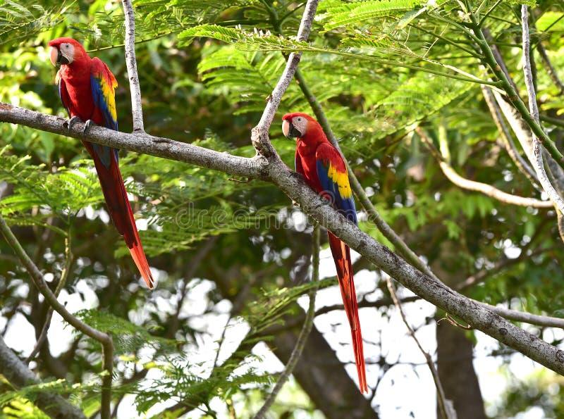 Wilde paar scharlaken ara's in boom Costa Rica stock fotografie