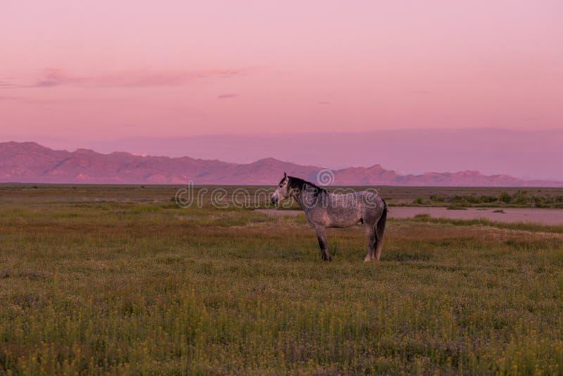 Wilde paarden in een Utah-woestijnzon stock foto's