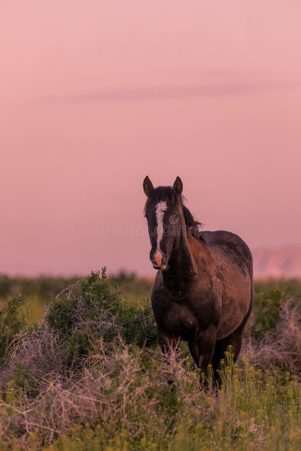 Wilde Paarden in een woestijnzon in Utah stock foto's