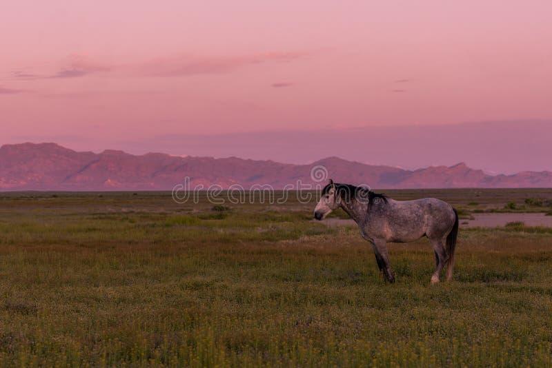 Wilde Paarden op Sunrise in de woestijn royalty-vrije stock afbeeldingen