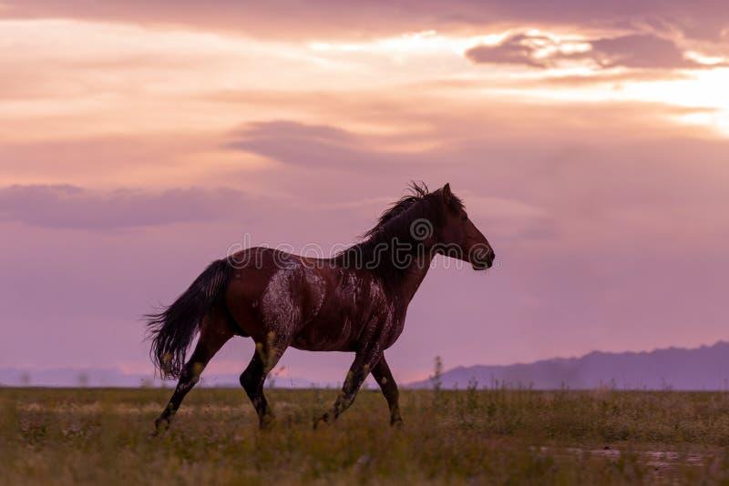 Wilde paarden op Sunset in de woestijn stock afbeeldingen