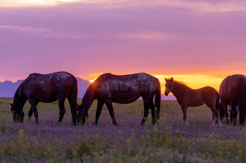 Wilde paarden op Sunset in Utah stock afbeelding