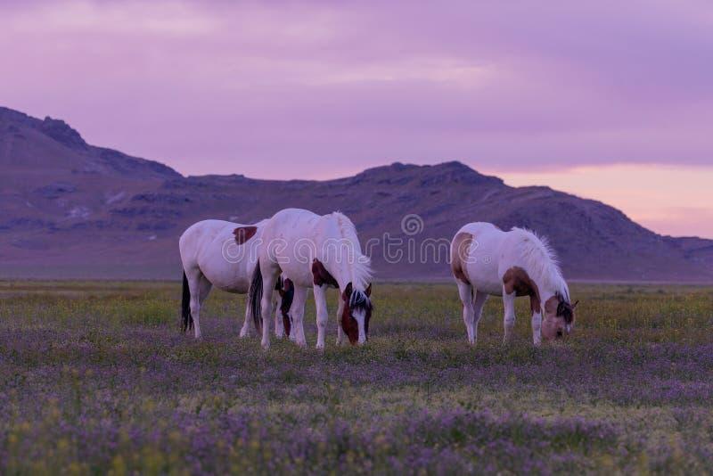 Wilde paarden op zonsondergang in de woestijn royalty-vrije stock afbeelding