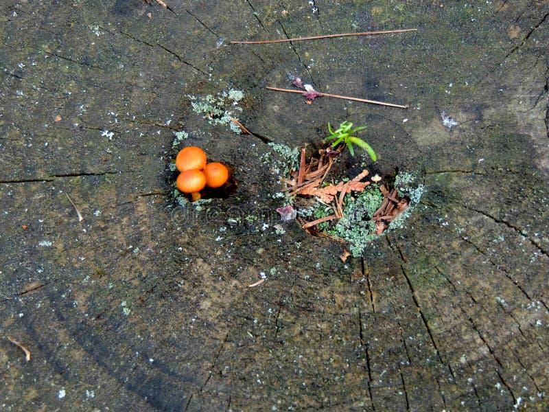 Wilde paddenstoel en zaailingen op een doorsnede van een boom stock foto