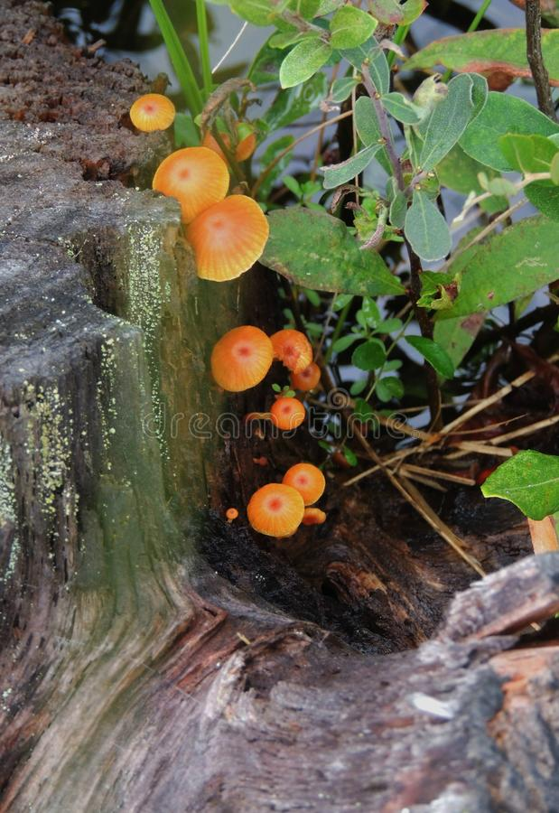Wilde paddenstoel op een doorsnede van een boom royalty-vrije stock fotografie