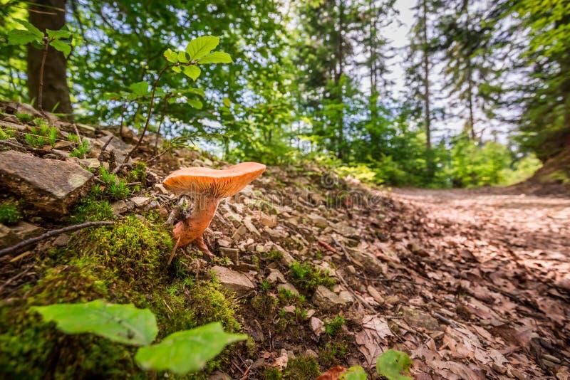 Wilde paddestoel in het bos dichtbij de weg stock afbeeldingen