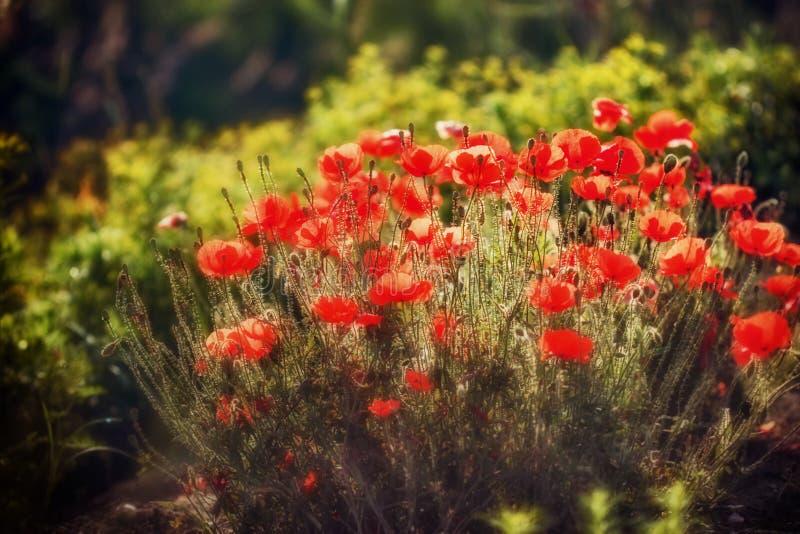Wilde papaverbloemen royalty-vrije stock fotografie