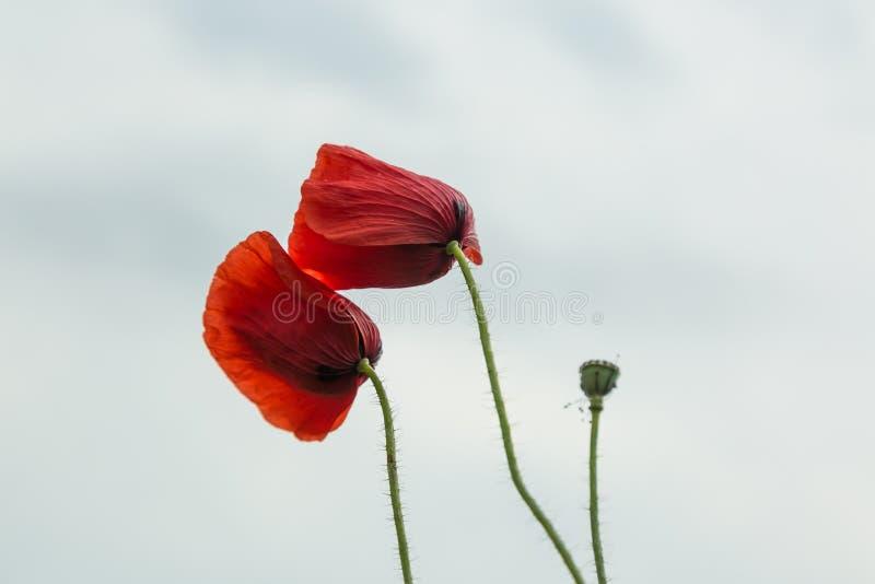 Wilde papaversbloemen stock foto