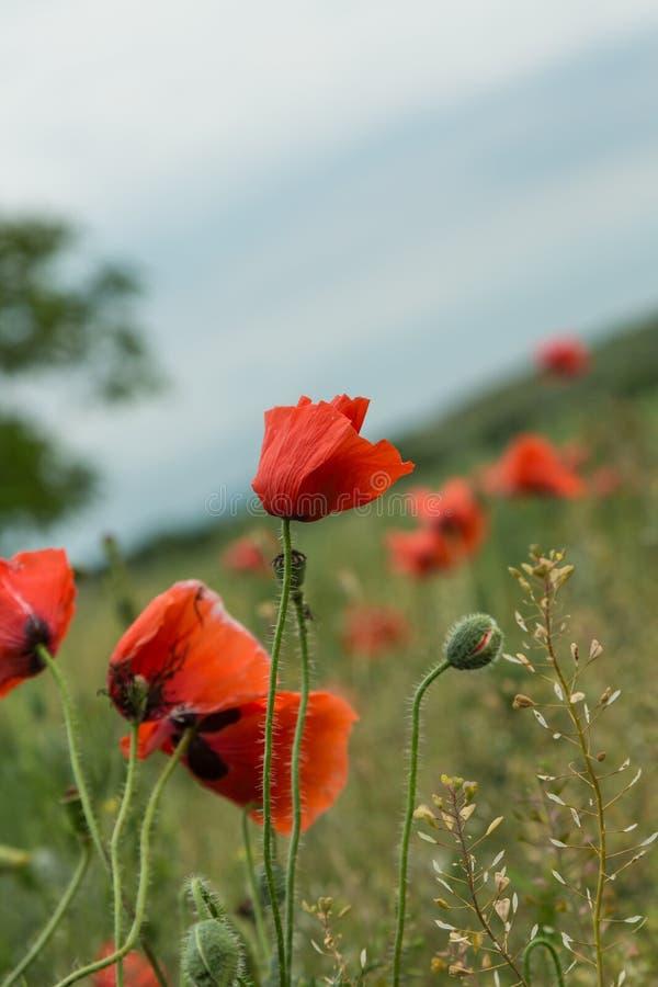 Wilde papaversbloemen stock fotografie