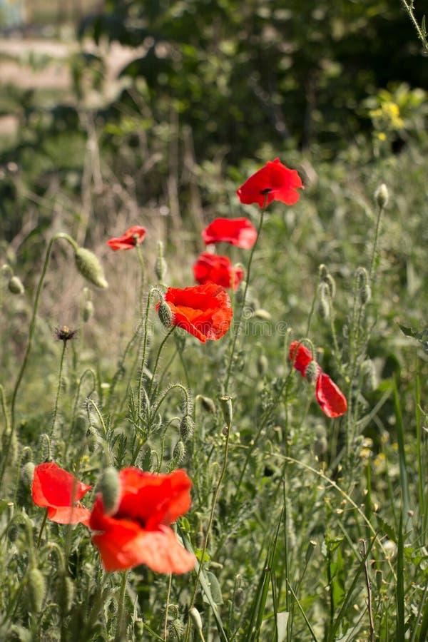 Wilde papaversbloemen stock foto's