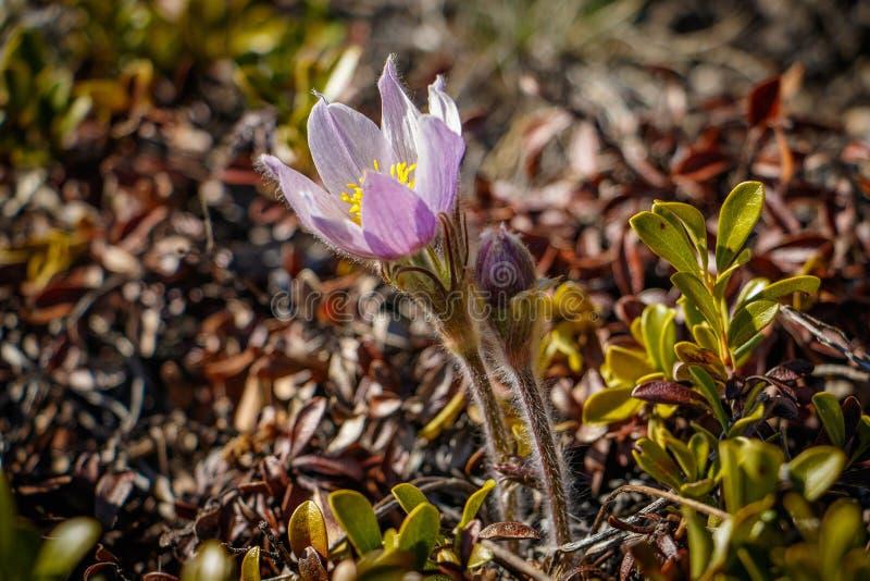 Wilde Pasque-bloem in Canadese Roskies stock afbeeldingen