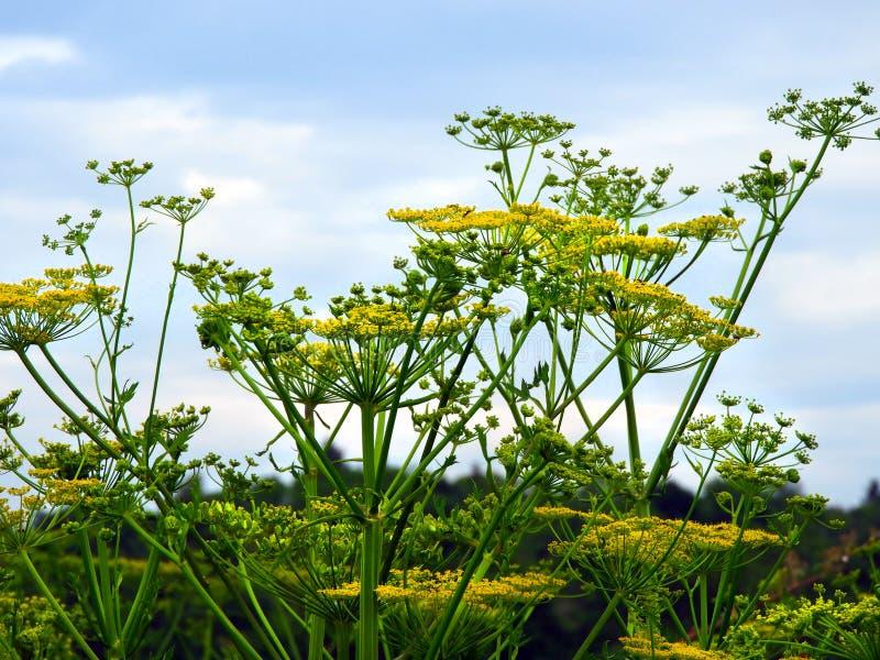Wilde Pastinaak giftige kant van de weg wildflower in NYS stock foto