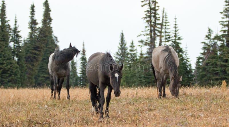 "Wilde Pferd-†""drei Junggesellehengste im Pryor-Gebirgswilden Pferd erstrecken sich in Montana USA stockbild"