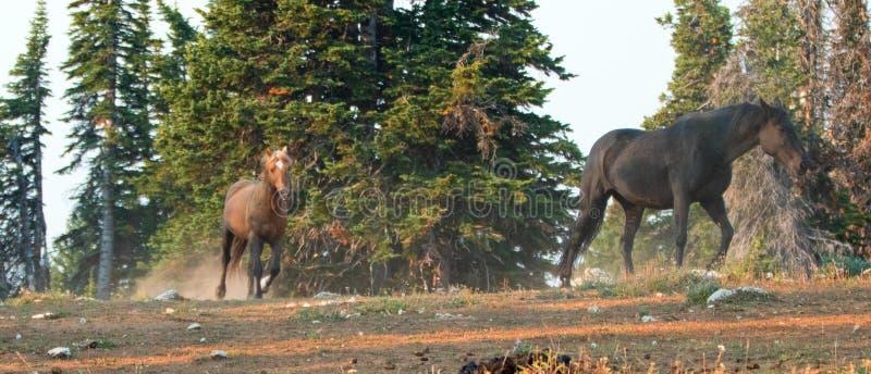 """Wilde Pferd-†""""rußiger Palomino und schwarzen die Hengste, die in das Pryor-Gebirgswilde Pferd laufen, erstrecken sich in Montan stockfotos"""