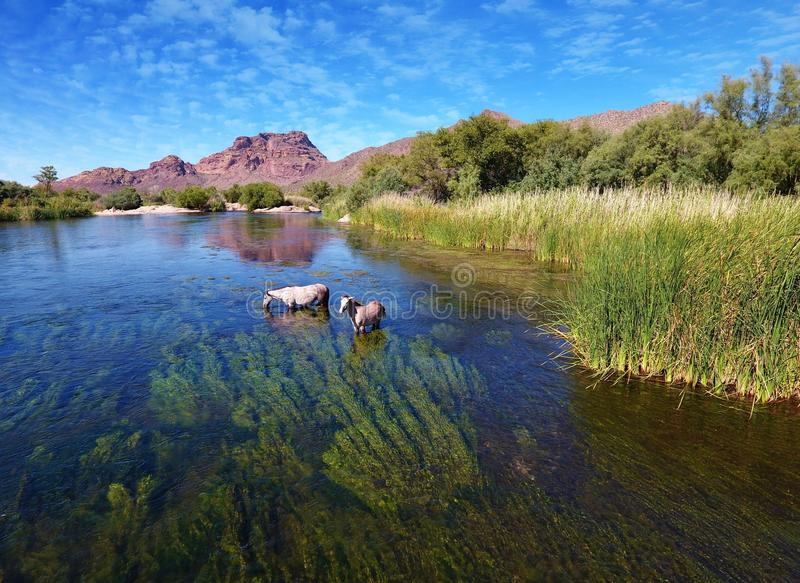 Wilde Pferd@ Salr-Fluss u. x28; Rio Salado u. x29; Arizona stockbild