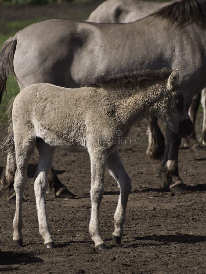 deutsche pferde stockfoto bild von fohlen pferde pferd