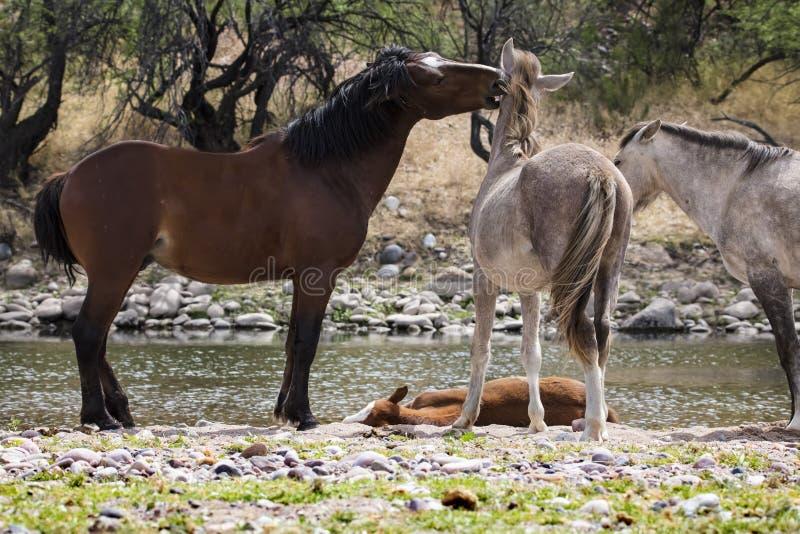 Wilde Pferde stockfotografie
