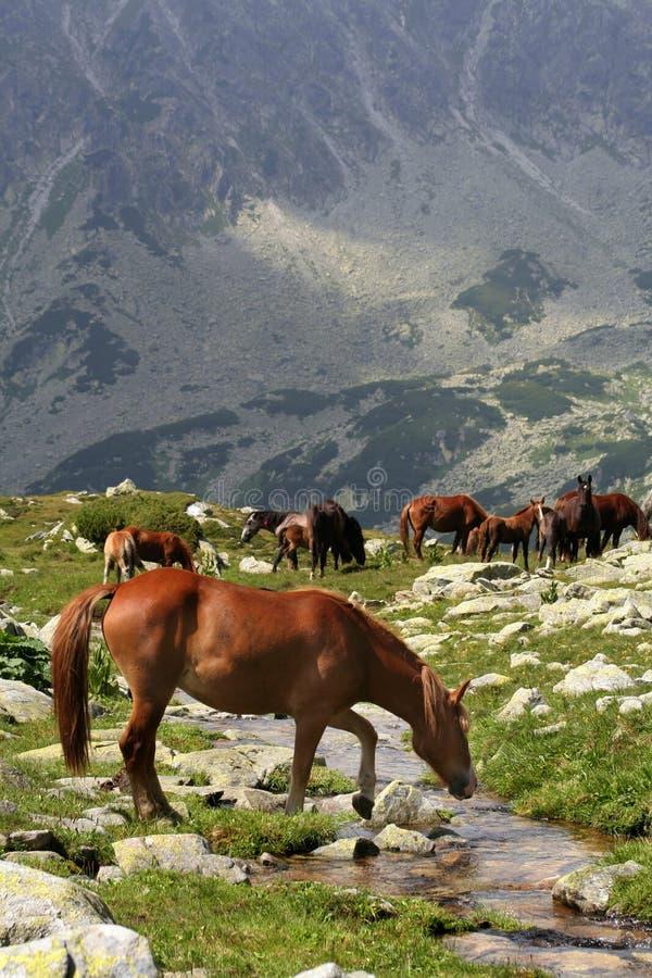 Wilde Pferde auf Bachquerneigung II lizenzfreie stockfotografie