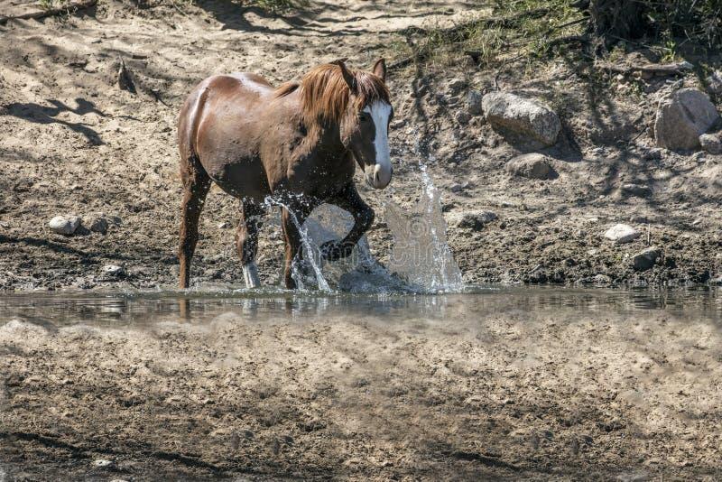 Wilde Pferde auf dem Salt River, Tonto-staatlicher Wald lizenzfreie stockbilder
