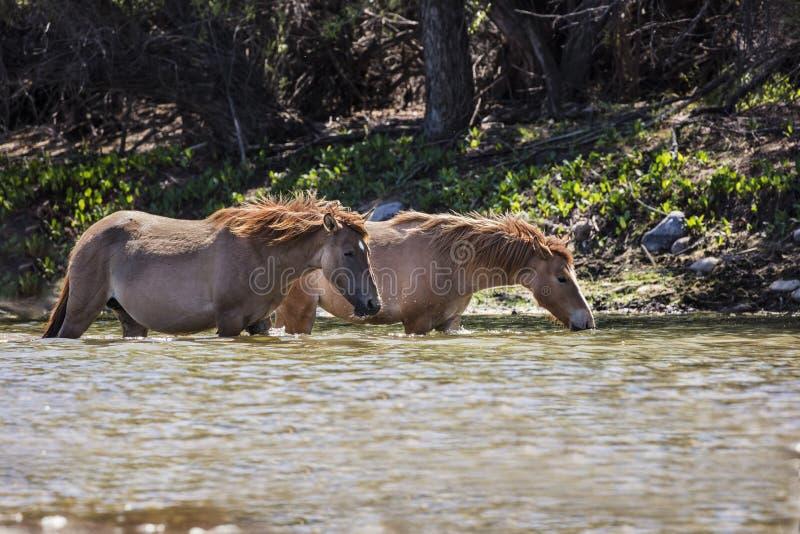 Wilde Pferde auf dem Salt River, Tonto-staatlicher Wald stockfoto