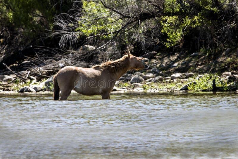 Wilde Pferde auf dem Salt River, Tonto-staatlicher Wald stockfotografie