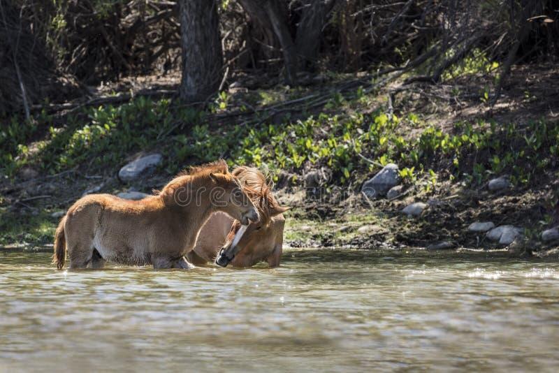 Wilde Pferde auf dem Salt River, Tonto-staatlicher Wald lizenzfreie stockfotografie