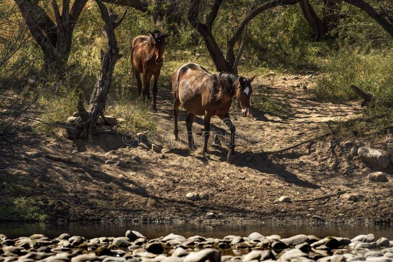 Wilde Pferde auf dem Salt River, Tonto-staatlicher Wald stockbilder