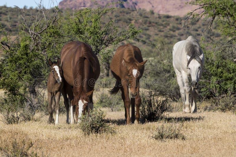 Wilde Pferde auf dem Salt River, Tonto-staatlicher Wald stockfotos