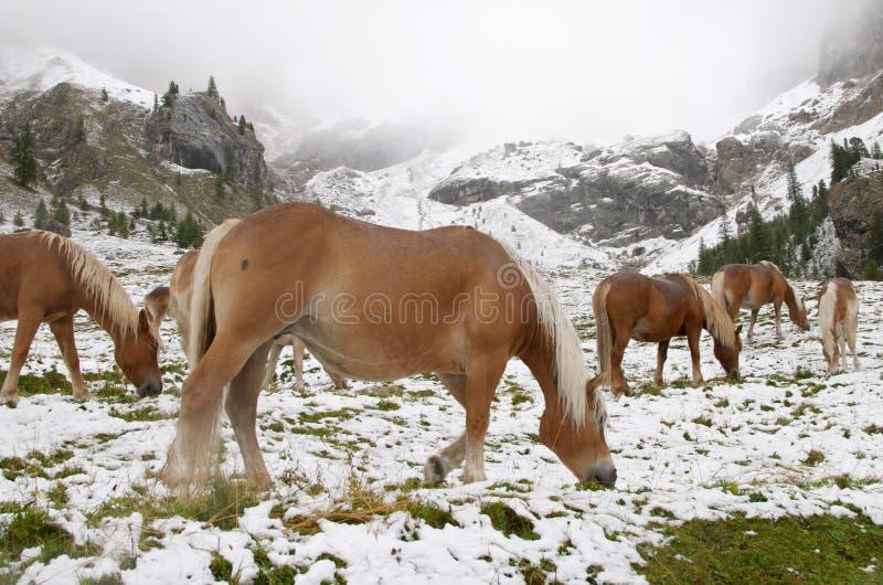 Wilde Pferde in den Dolomit-Bergen lizenzfreies stockfoto