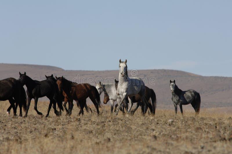 Wilde Pferde in den weit geöffneten Plätzen stockfotos