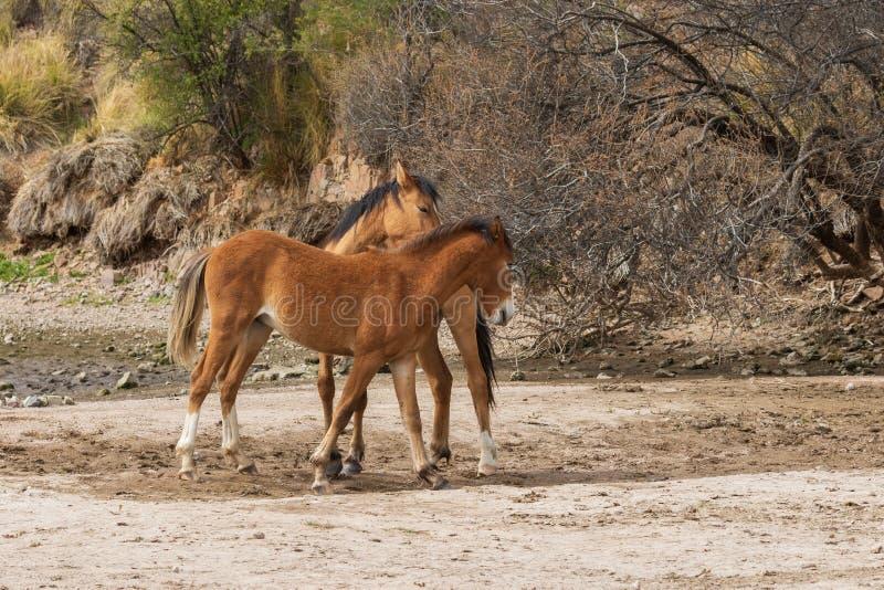 Wilde Pferde in der Arizona-Wüste lizenzfreie stockfotografie