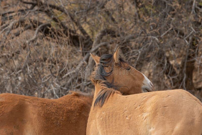 Wilde Pferde in der Arizona-Wüste stockfoto