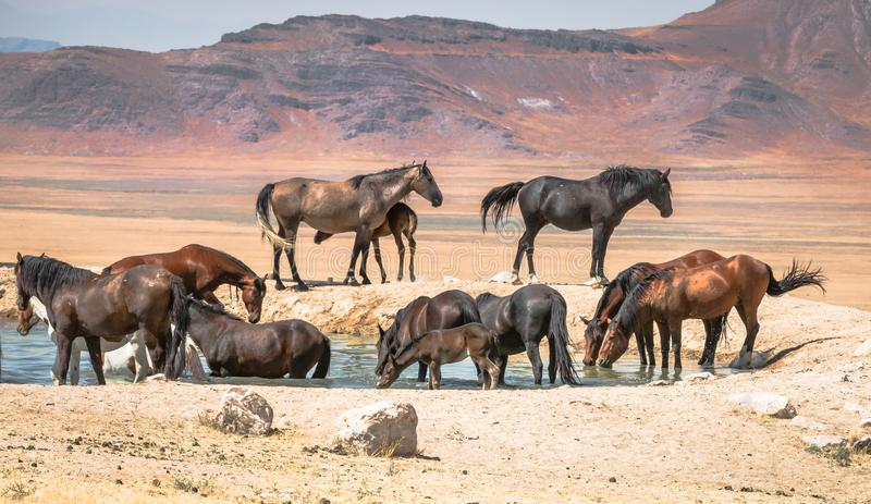 Wilde Pferde an der Wasserstelle lizenzfreies stockbild