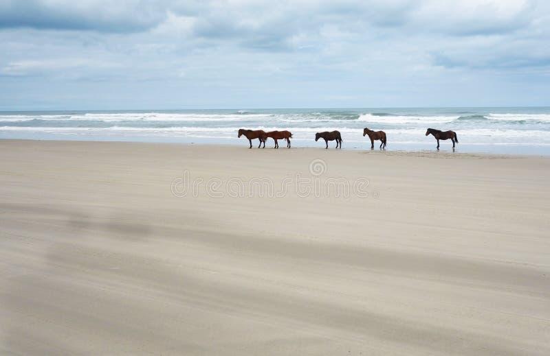 Wilde Pferde des äußeren Bank-North Carolina stockbilder