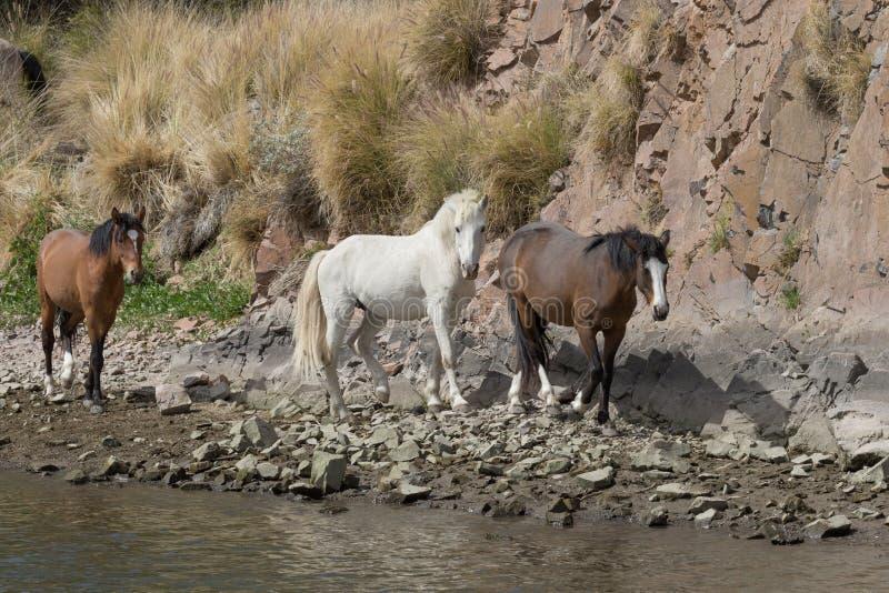 Wilde Pferde, die entlang den Salt River Arizona gehen stockbild