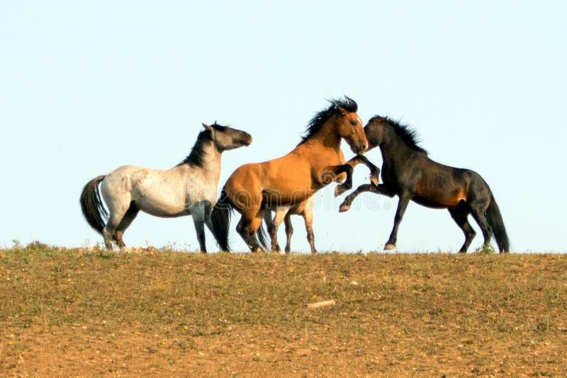 Wilde Pferde/die Mustang-Hengste, die im Pryor-Gebirgswilden Pferd kämpfen, erstrecken sich auf der Staatsgrenze von Wyoming und  stockfoto