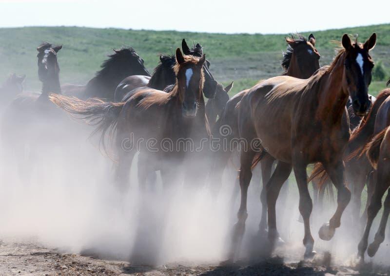 Wilde Pferde, die in Staub laufen lizenzfreie stockfotografie