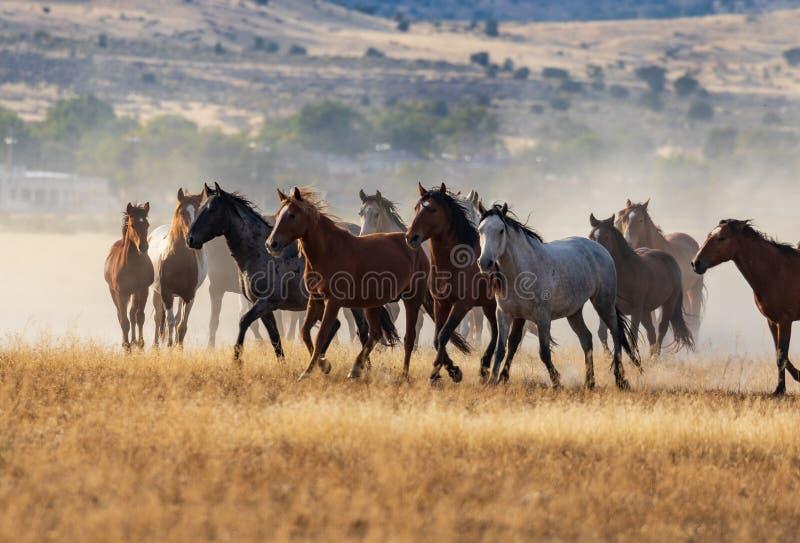 Wilde Pferde, die in die Wüste laufen stockbilder