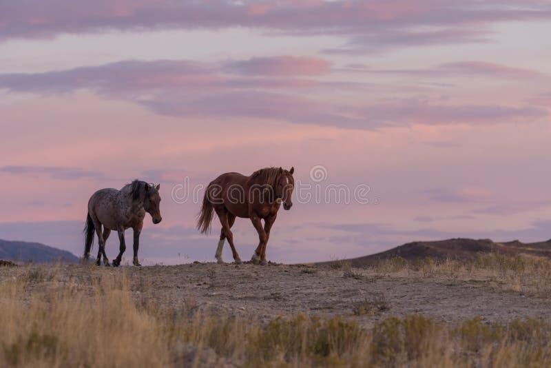Wilde Pferde im Sonnenuntergang stockbild