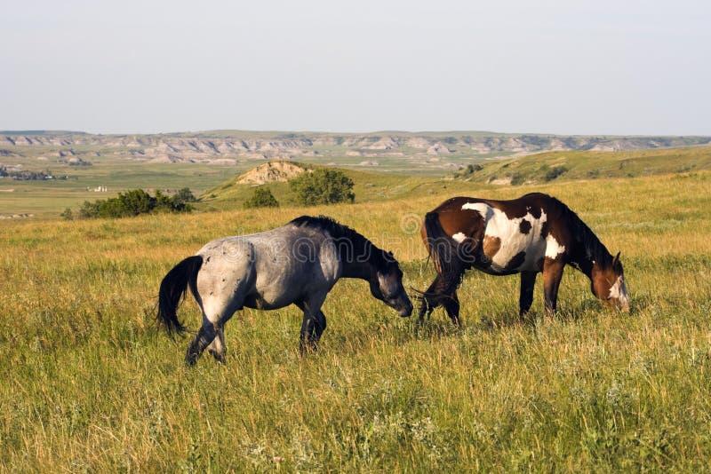 Wilde Pferde im Theodore- RooseveltNationalpark stockfoto